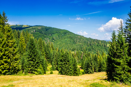 coniferous forest on a steep mountain slope 版權商用圖片 - 53979070