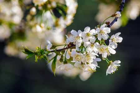 twig with white flowers of apple tree on a blurred background of pink leaves Stock Photo