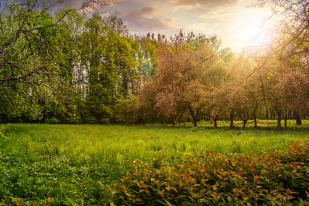lawn in the shade of fruit trees of green fruit garden in spring in evening light