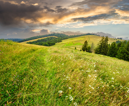 large meadow with mountain herbs and a conifer forest in front of mountainous massif away in the background Stock Photo - 54423887