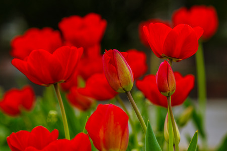 red tulip on blurred background of green garden bokeh Stock Photo