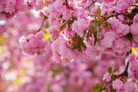 pink flowers on the branches of Japanese sakura blossomed above blury background  in spring