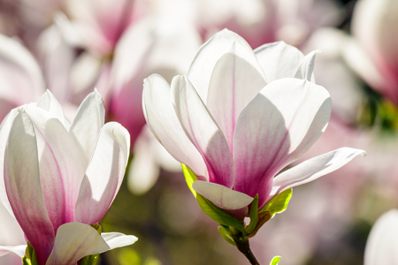 magnolia flowers close up with shallow depth of field on a blurry background