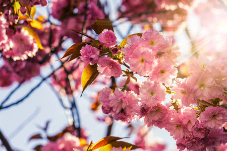 delicate pink flowers blossomed Japanese cherry trees on blur background in sun ray Stock Photo