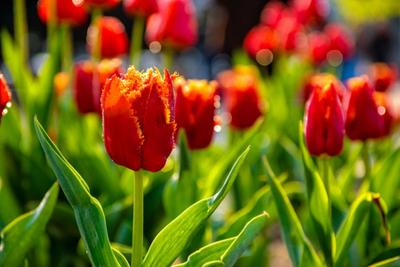 red tulips with yellow edged petals on green blurred background of gaden bokeh Stock Photo
