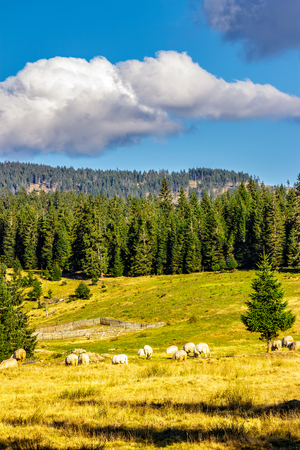 rural landscape with flock of sheep on the hillside meadow at the foot of the mountain in Romania Stock Photo