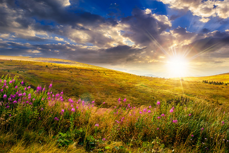 flowers sun: landscape with high wild grass and purple flowers on the top of high mountain in evening light