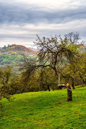 summer landscape. apple tree garden on a hillside meadow near the village. forest in fog on the mountain.