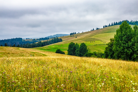 large meadow with mountain herbs and a conifer forest in front of mountainous massif away in the background Stock Photo - 57548580
