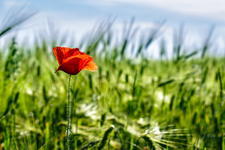 one big red poppy flower in the green wheat field in summer Stock Photo - 57558874
