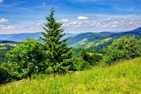 coniferous forest on the edge of the hill in Carpathian mountains Stock Photo