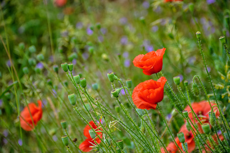 closeup of few big poppy flowers on blurred background of green meadow
