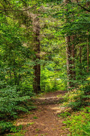 narrow path in a conifer forest. tree roots have sprouted across the footpath. Stock Photo