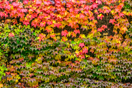 climbing plant with red leaves in autumn on the old stone wall Stock Photo