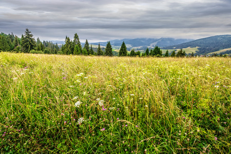 large meadow with mountain herbs and a conifer forest in front of mountainous massif away in the background Stock Photo - 59685923