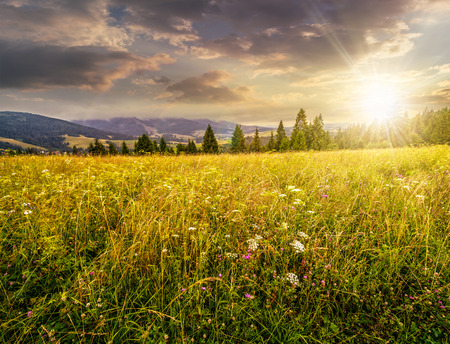 large meadow with mountain herbs and a conifer forest in front of mountainous massif away in the background in evening light Stock Photo
