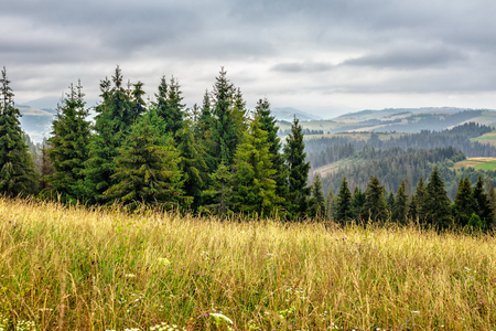 large meadow with mountain herbs and a conifer forest in front of mountainous massif away in the background