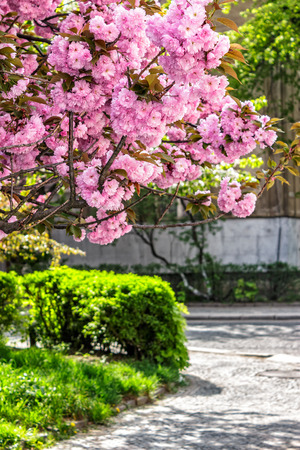 delicate pink flowers blossomed Japanese cherry trees on street blur background