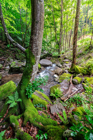 Curve tree with moss among the boulders on the forest stream bank