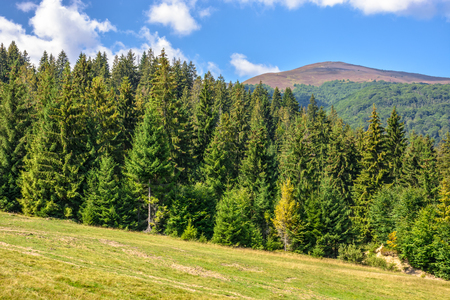 late summer mountain landscape. meadow on hill side with spruce forest under the blu sky with clouds Stock Photo