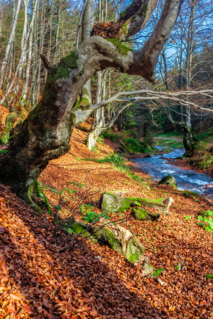 Mountain stream flows among the stones through autumn forest with some moss on the trees and orange foliage on the ground Stock Photo - 62995822