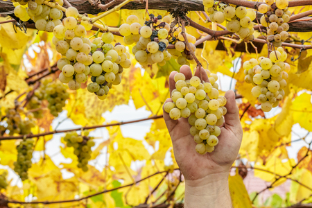 Grapes harvest. Farmer cuts a ripe white grapes in vineyard