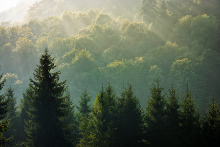 foggy hill: spruce trees in morning light on a hill side. Coniferous forest on foggy sunrise in Carpathian Mountains