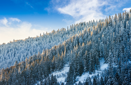 magnificent spruce forest on hillside in winter mountains Stock Photo