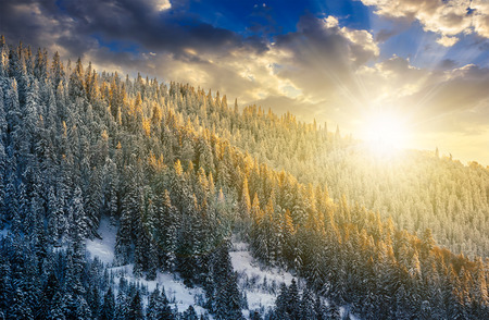 magnificent spruce forest on hillside in winter mountains in evening light