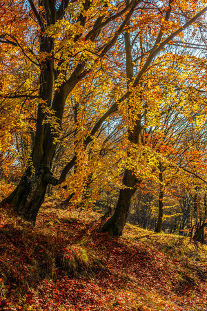 tall trees on hillside with yellow and red foliage in autumn forest on sunny day
