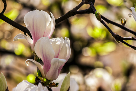 magnolia flowers close up on a blur green leaves background Stock Photo
