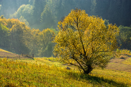 foggy hill: yellow tree on a meadow in morning light on a rural hill side. Spruce forest on foggy sunrise in Carpathian Mountains