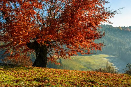 foggy hill: tree with red foliage on a meadow in morning light on a hill side. Spruce forest on the background on foggy sunrise in Carpathian Mountains