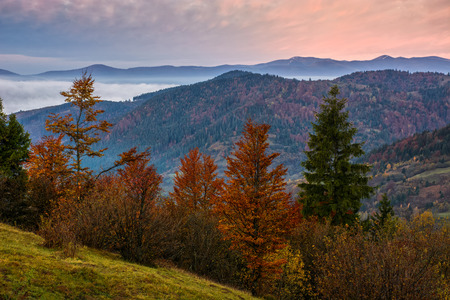 forest with spruce trees on hillside over foggy valley in autumn mountains at dawn Stock Photo
