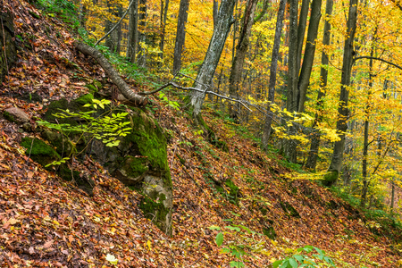 tree branches with yellow and orange foliage overthe boulders with moss in autumn forest on sunny day
