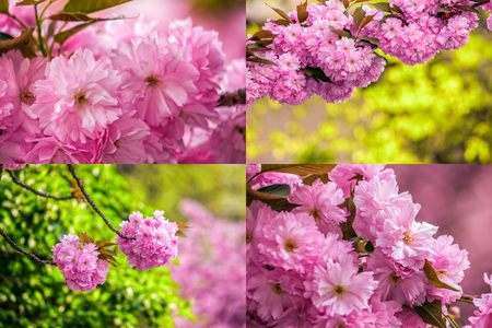 set of images with pink flowers on the branches of Japanese sakura blossomed above blury background in spring garden