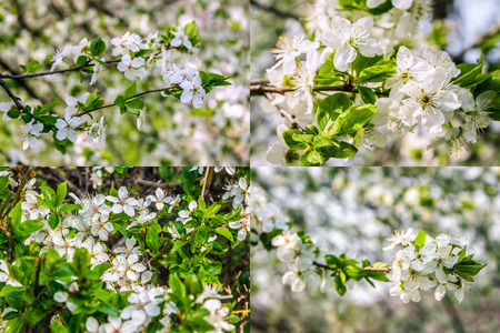set of images with twig with white flowers of apple tree on a blurred background of green leaves Stock Photo