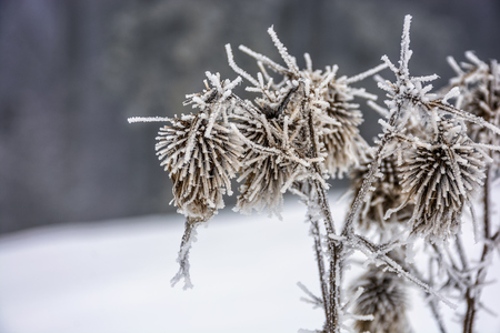 frozen flowers in winter on a blury background of forest and meadow in snow Stock Photo