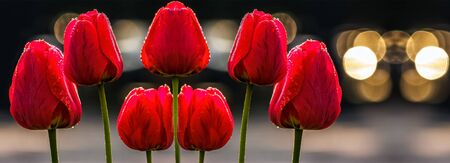 few red tulips on dark background with bokeh blurs Stock Photo