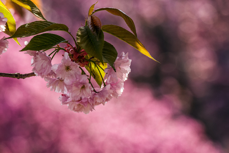 branch of delicate pink flowers of blossomed Japanese cherry trees on the blurred background of sakura garden Stock Photo