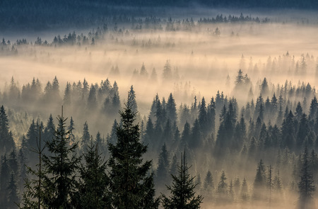 coniferous tree: coniferous forest in foggy mountains