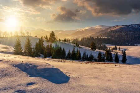 spruce forest on a meadow full of snow in mountains in evening light