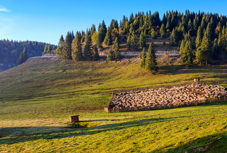 flock of sheep on the meadow on hillside near the fir forest in mountains of Romania at sunrise