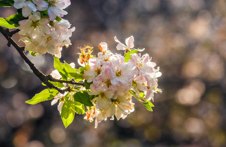 twig with white flowers of apple tree on a blurred background of a garden Stock Photo