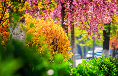 city street blossom with yellow and green bushes and pink sakura in spring Stock Photo
