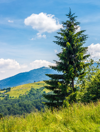 spruce tree on a hill side meadow in high mountains on a clear summer sunny day with some clouds