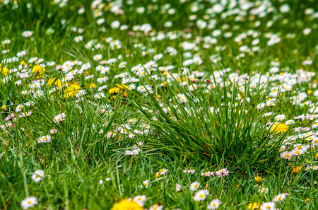 yellow flowers of dandelion and white clover flowers in green grass