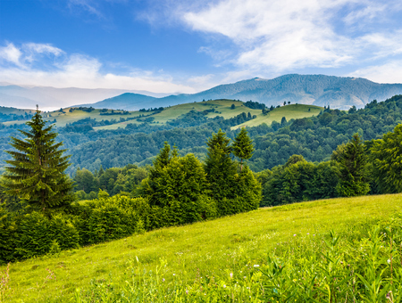 spruce forest on a hill side meadow in high mountains on a clear summer sunny day with some clouds Stock Photo