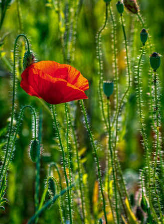 one big red poppy flower in the green wheat field in summer Stock Photo