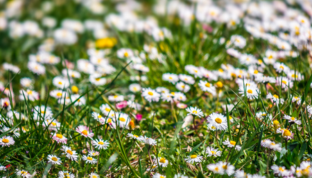 field with little white chamomile closeup shoot with shallow depth of field